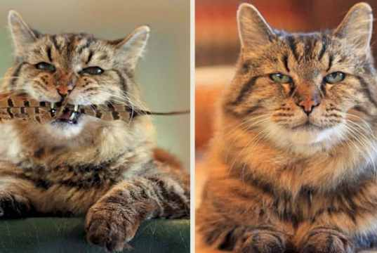 oldest domestic cat f CAT BREEDS