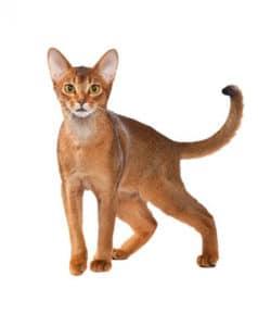 Abyssinian cat 238x300 Cat Breeds List