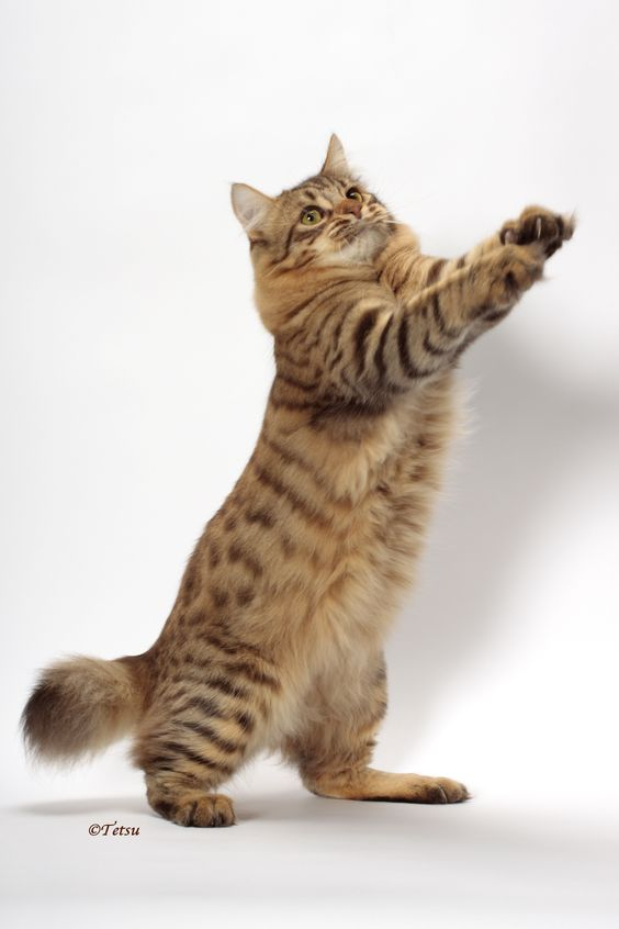 American Bobtail Cat Breeds and Information - Cats In Care