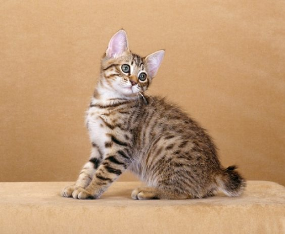 American Bobtail Cat For Sale