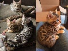 Bengal Cat CAT BREEDS