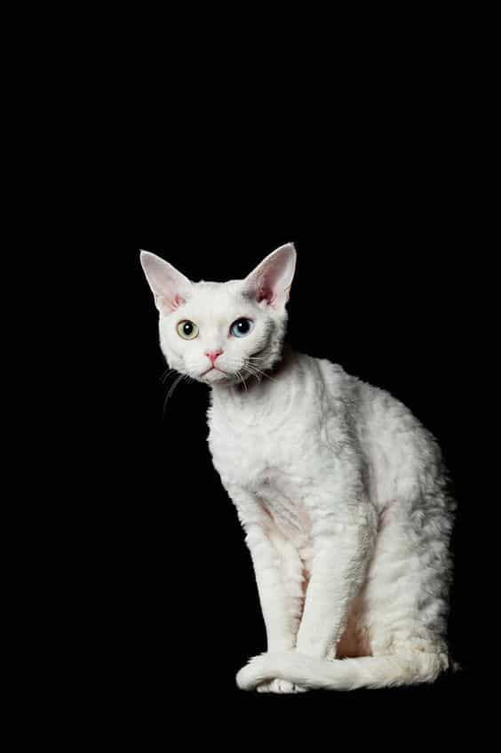 CornishRex6 Cornish Rex Cat Breeds
