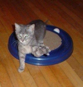 Ratso, the logan square kitten