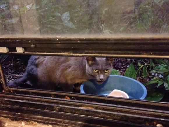 Veda, Logan Square cat