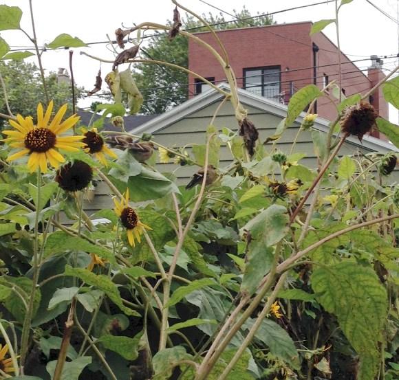 sunflower finches