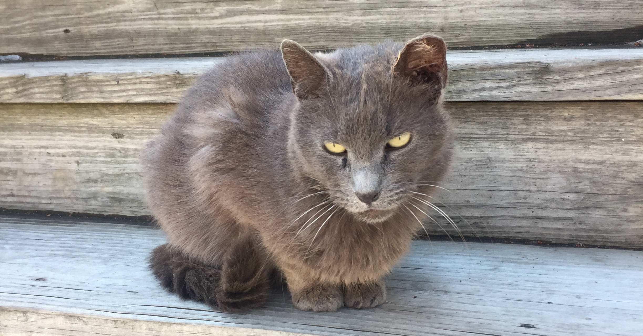 RIP Baby Gray The Cat with More Than an Infected Ear