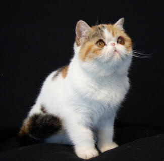 Exotic Shorthair Cat Breed Cat Pictures Amp Information