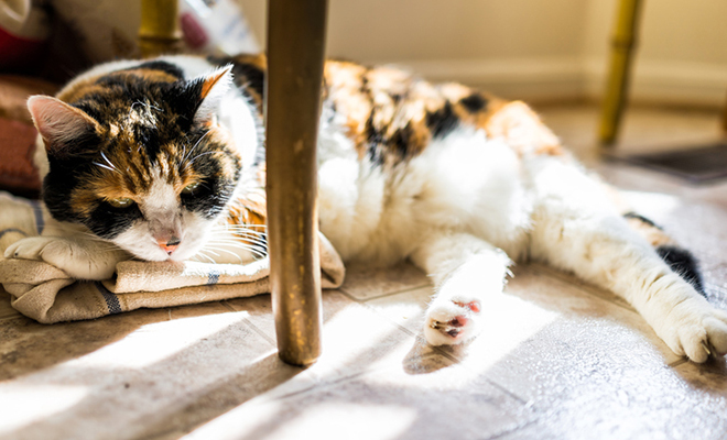 A shy calico cat hiding under a table.