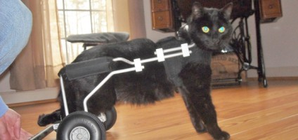 wheelchair for cats pink vanity chair holly the cat lost use of 2 legs but gained love and support - catster
