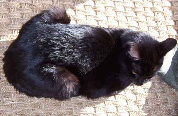 The Science Behind The Fur What Makes Black Cats Black