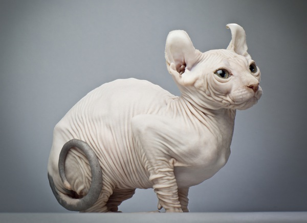 A hairless cat with a curled tail.