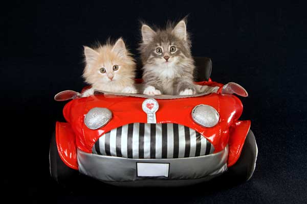 Image result for image two cats in car driving