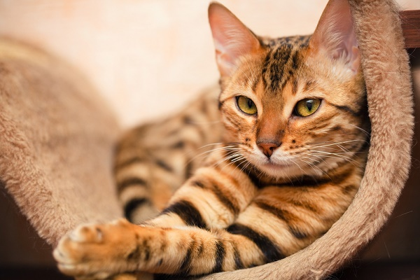 In Bengal cat.