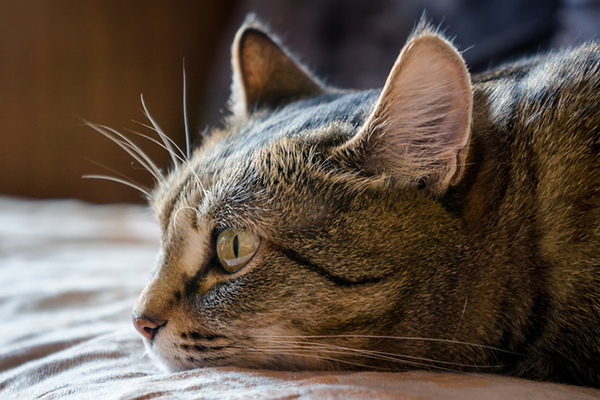 A tabby cat, lying down and sick.