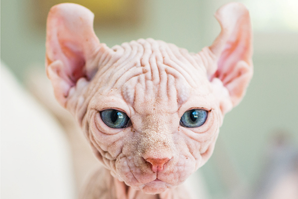 A hairless cat with blue eyes.