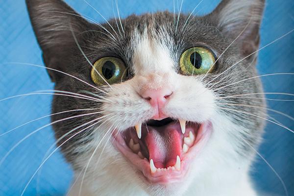 My Cat Keeps Yowling