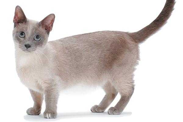 A gray Munchkin cat.