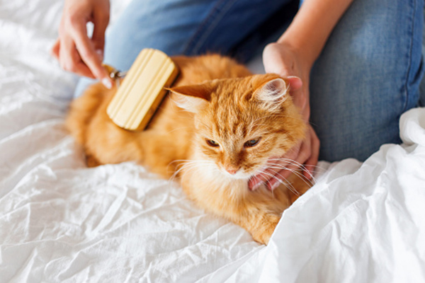 An orange tabby cat being brushed or groomed by a human.