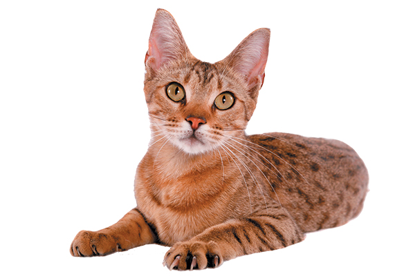 The spotted tabby cat.