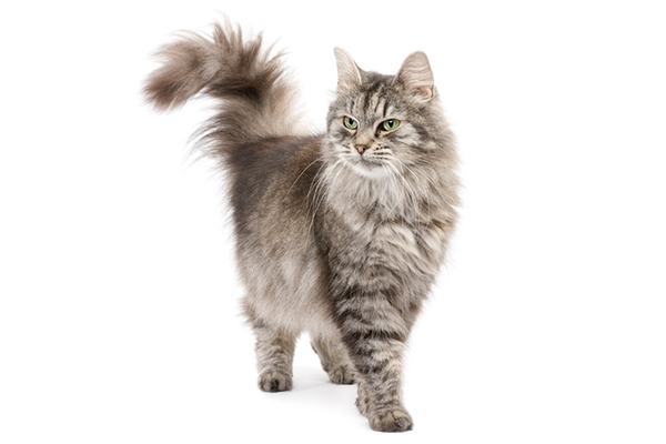 A gray and white cat with her tail up.
