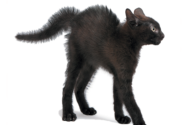 A black cat with a puffed or bottle brush tail.