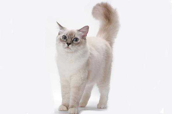 A Ragdoll cat.