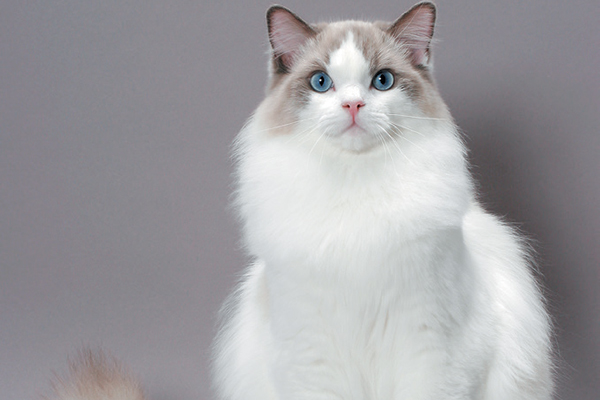 Ragdoll cat 1 - The Ragdoll Cat —All About This Fascinating Cat Breed