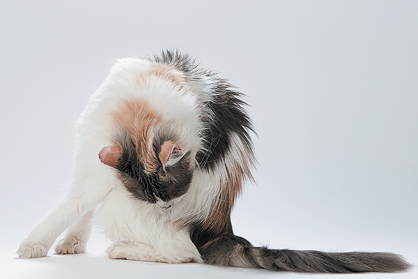 A cat licking and grooming his butt.