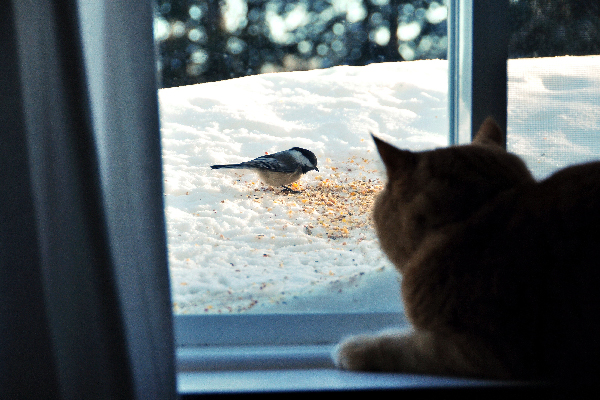 Cat looking out a window at birds and birdseed.