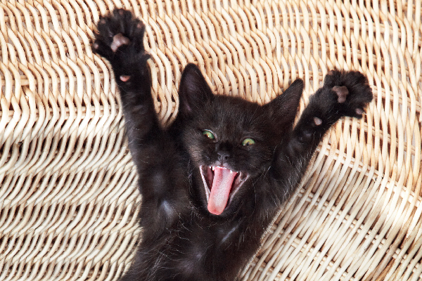 A hyper or excited cat with his mouth open and arms stretched wide.