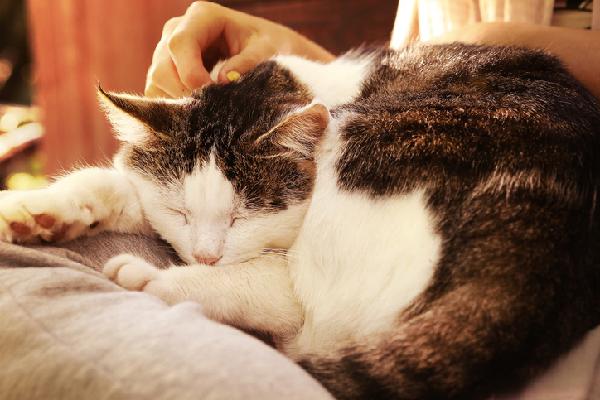 An older cat sleeping or lying down.