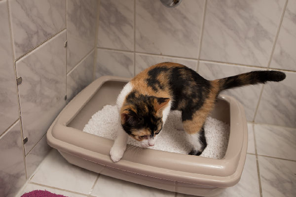A calico cat getting out of the litter box.