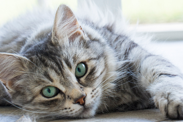 A gray tabby cat with green eyes close up.