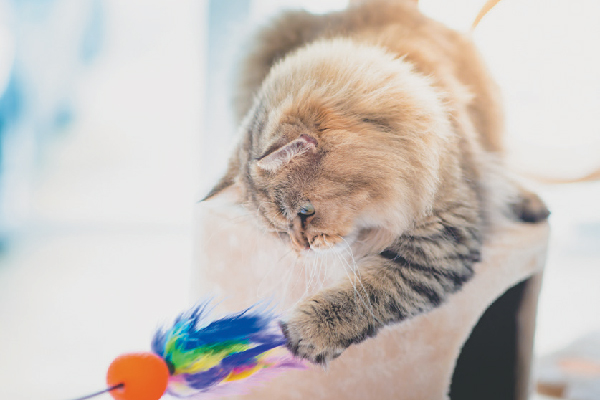 A senior or older cat playing with a toy.