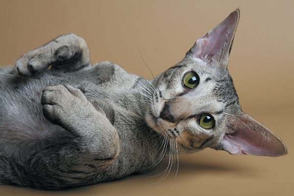 The Oriental cat can be found in more than 600 patterns. Photography©jehandmade | Getty Images.