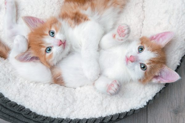 Two orange and white tabby kittens.