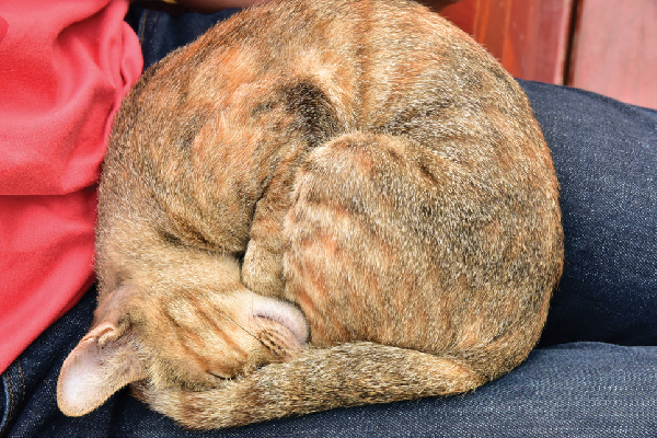 A cat curled up asleep in a lap.