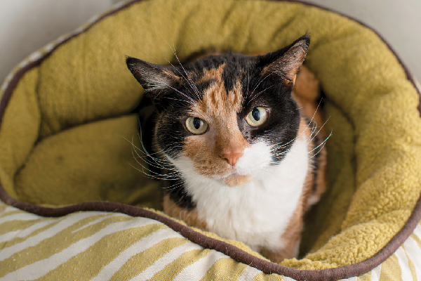 A calico cat looking up from a bed.