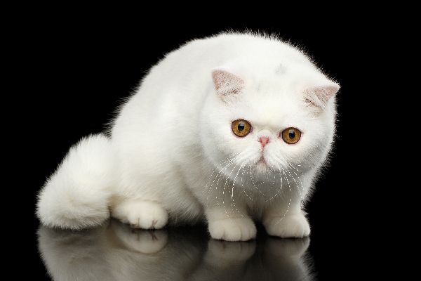 Exotic Shorthair Cat.