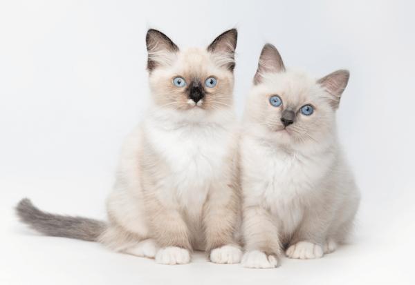 Ragdoll Kittens getty989800466