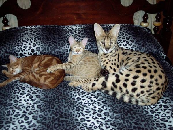 Cute Tofu Desktop Wallpaper Savannah Cats Photo And Wallpaper Beautiful Savannah Cats