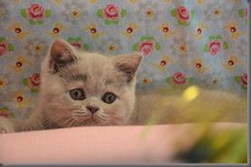 Lilac kittens van Meike en Liverpool