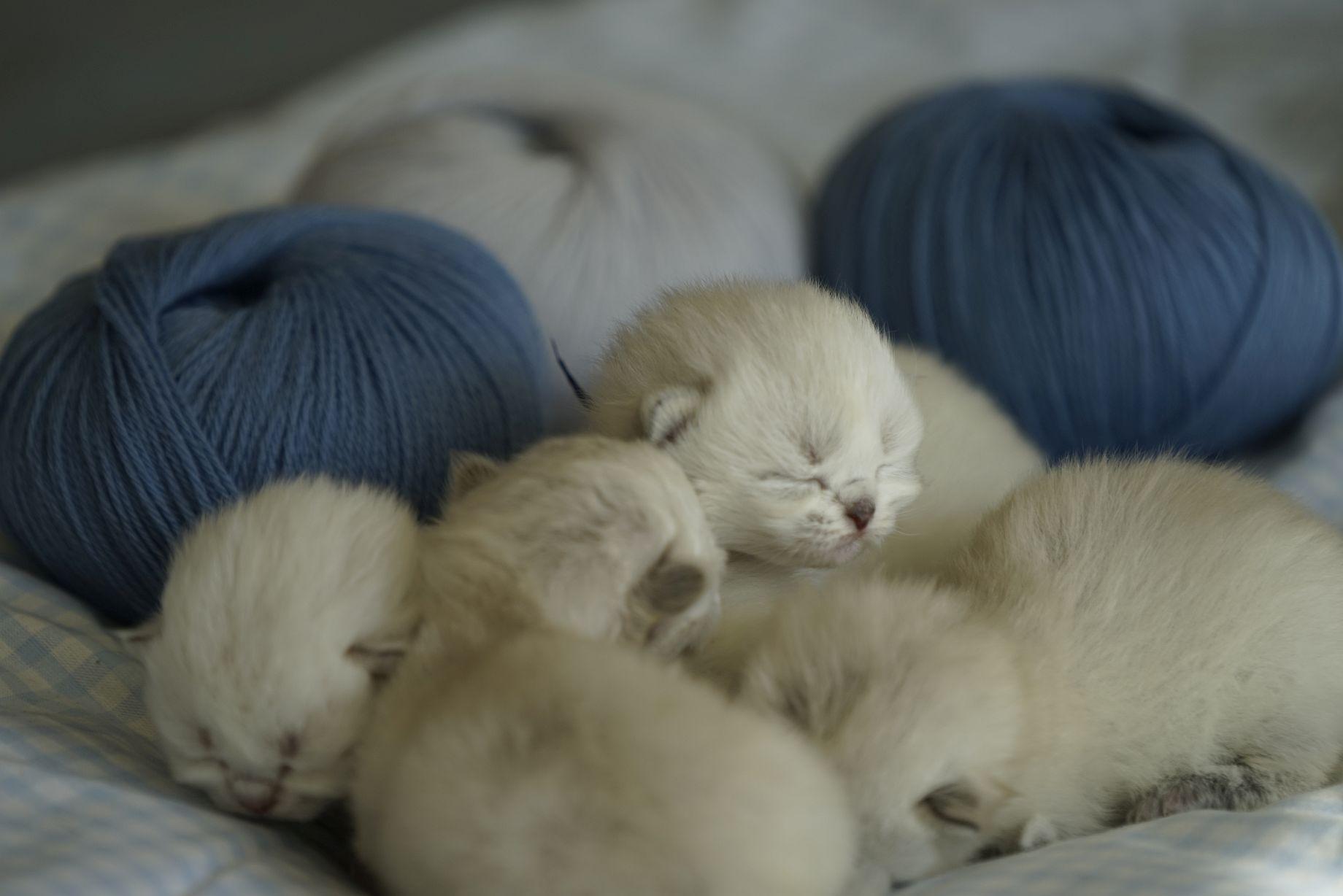 Kittens British Malice 1