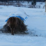 Winter Hay Bale Grazing: Part 4 of 4