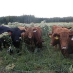 Cattle Breeding: Selecting Your Bull(s)