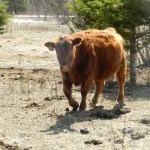 "Cattle: Creatures of ""Grazing"" Habit"