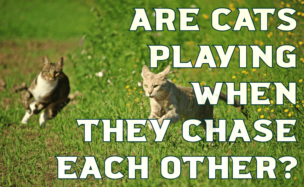 Are Cats Playing When They Chase Each Other?