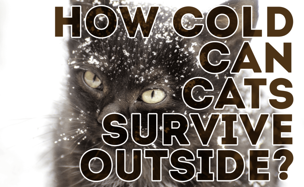 How Cold Can Cats Survive Outside?