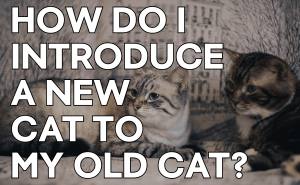 How Do I Introduce a New Cat to My Old Cat?