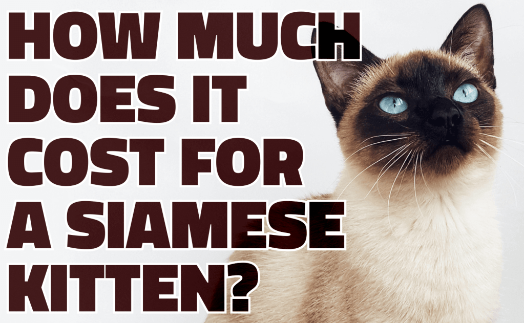 How Much Does It Cost For a Siamese Kitten?